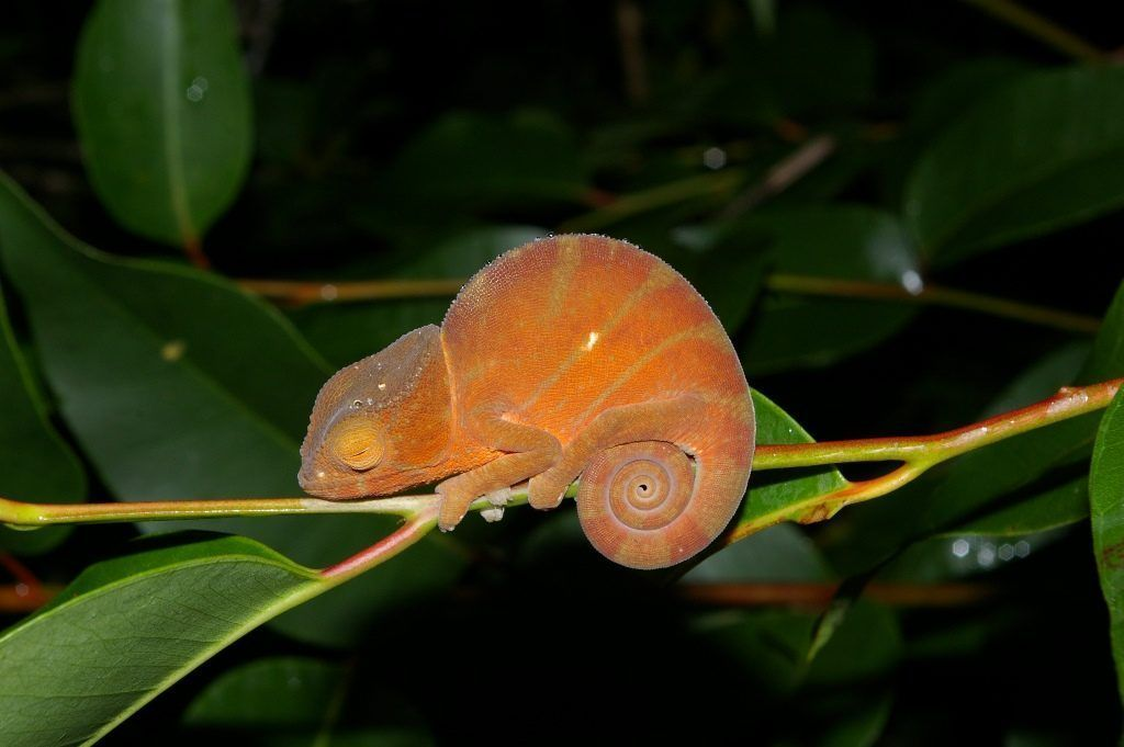 Especie de la familia de los camaleones en el Parque nacional Andasibe Mantadia en Madagascar - Los viajes de Margalliver