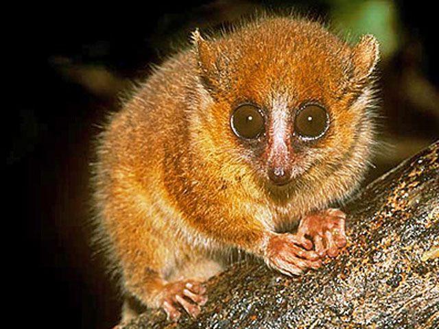 Microcebus berthae , un lémur de tan solo 10 cm de Madagascar - Los viajes de Margalliver