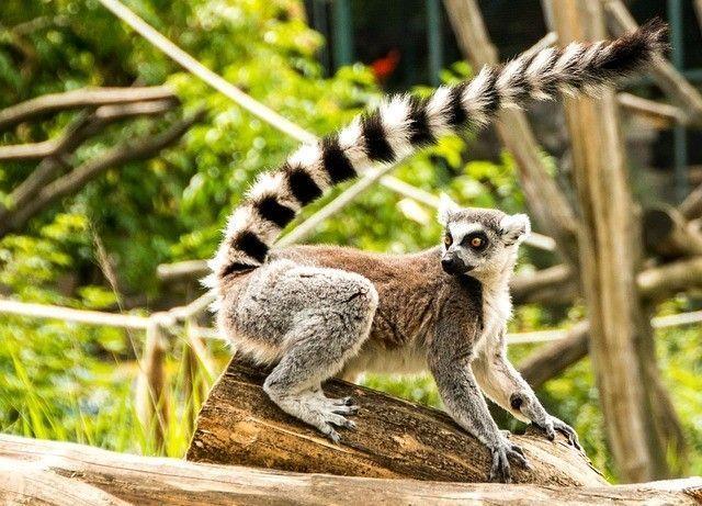 Lémur en Madagascar - Los viajes de Margalliver