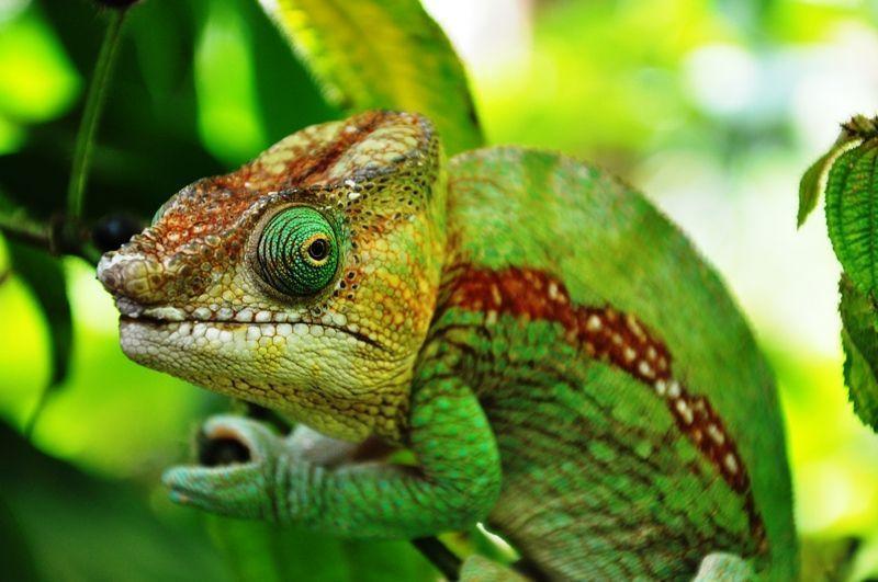 Camaleon en Madagascar - Los viajes de Margalliver