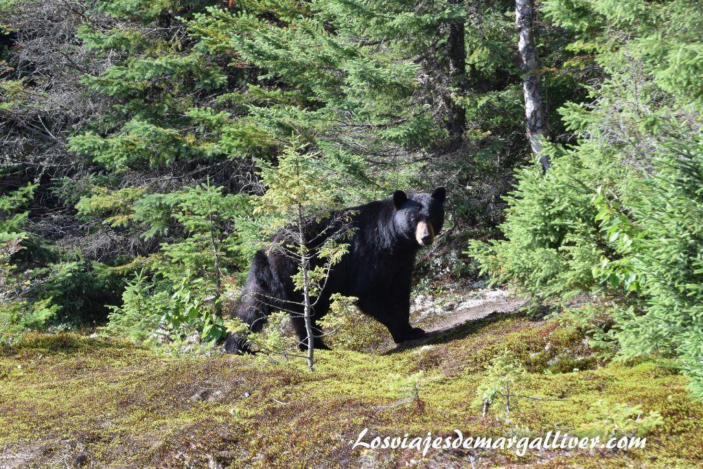 Precioso oso negro que pudimos ver muy de cerca en la ruta por la costa este de Canadá - Los viajes de Margalliver