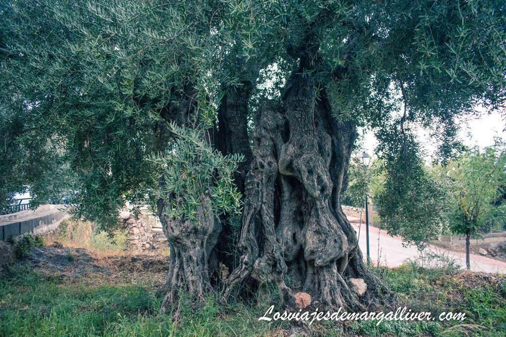 Olivo centenario de Alcolea, ruta por los pueblos de Almería - Los viajes de Margalliver