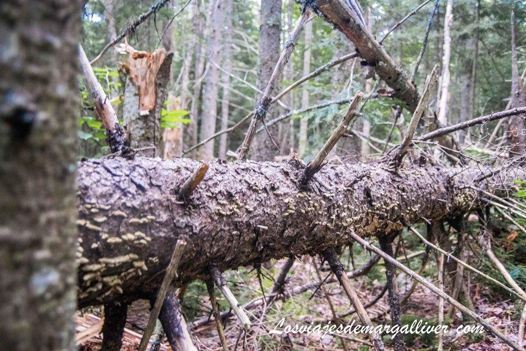 bosque en Canadá - Los viajes de Margalliver