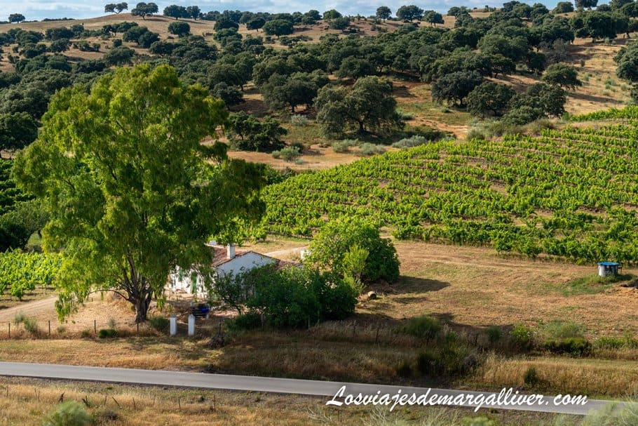 viñedos de la bodega Colonias de Galeón en Cazalla de la Sierra - Los viajes de Margalliver