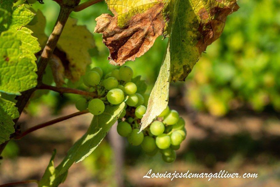 detalle de un racimo de uvas de un viñedo de Cazalla de la Sierra - Los viajes de Margalliver