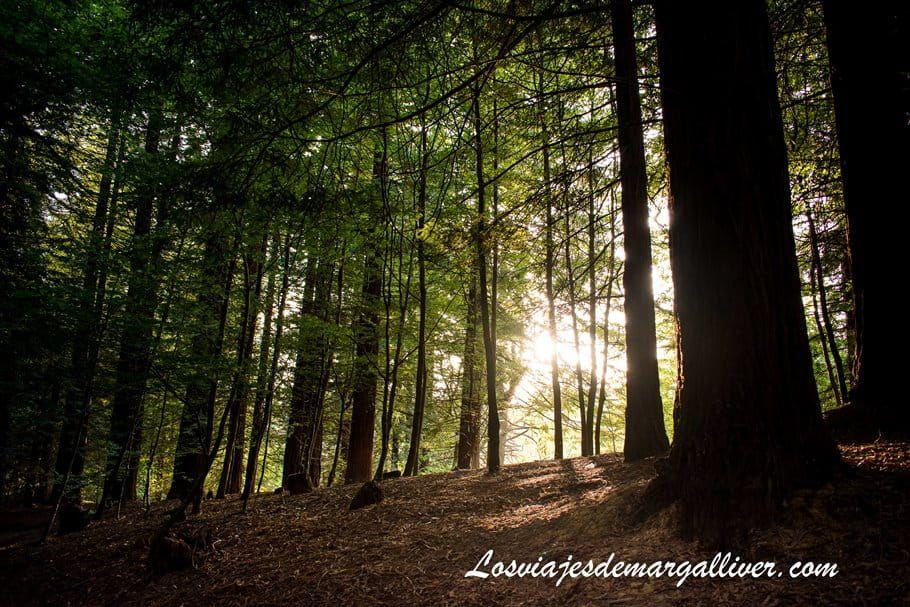 rayos de sol al atardecer en el bosque de Secuoyas de Cantabria - Los viajes de Margalliver